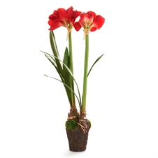 "Amaryllis 37"" Double Drop-In, Red 