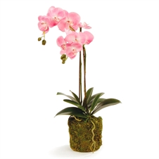 Phalaenopsis Pink Drop In, 23'' | Plum & Post